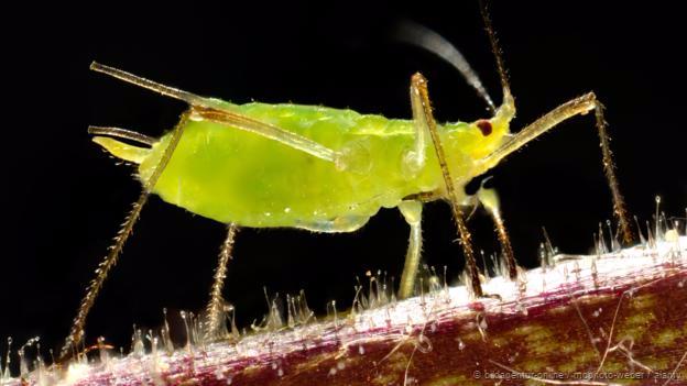 Pea aphids eat broad bean plants (Credit: Bildagentur-online / McPhoto-Weber / Alamy)