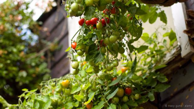 Tomato plants can receive signals from their neighbours (Credit: Tracy Gunn / Alamy)