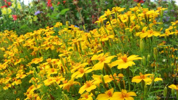 Marigolds are distinctly unfriendly to their neighbours (Credit: blickwinkel / Alamy)
