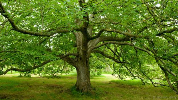 A black walnut tree (Juglans nigra) (Credit: foto-zone / Alamy)
